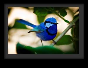 bluewren